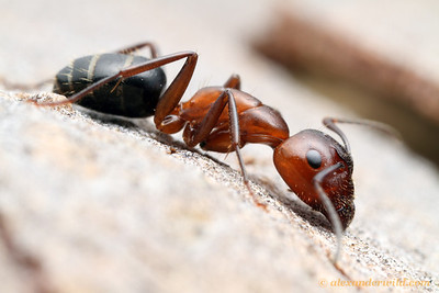 Camponotus discolor major worker.  Urbana, Illinois, USA