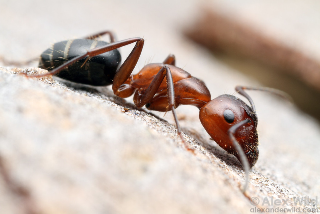 Camponotus discolor major worker.  Urbana, Illinois, USA