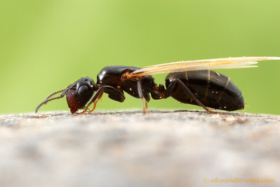 Camponotus papago, alate queen  Santa Rita Mountains, Arizona, USA