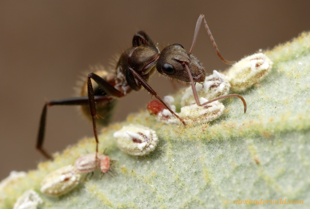 Camponotus rosariensis ant tending scale insects for honeydew.  Notice that the younger scale insects have legs.  These first instar scale are more mobile than the older instars, which settle down once they find a good spot for feeding.  Frías, Santiago de Estero, Argentina