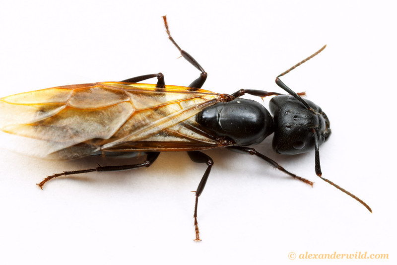 Camponotus pennsylvanicus, the eastern black carpenter ant, winged queen  South Bristol, New York, USA
