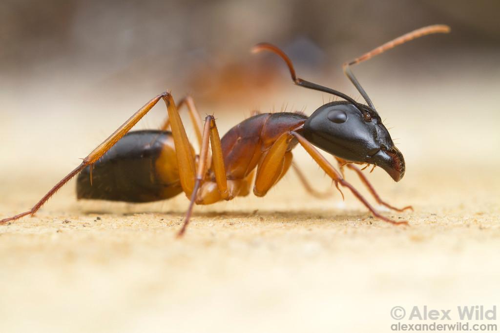 Camponotus consobrinus