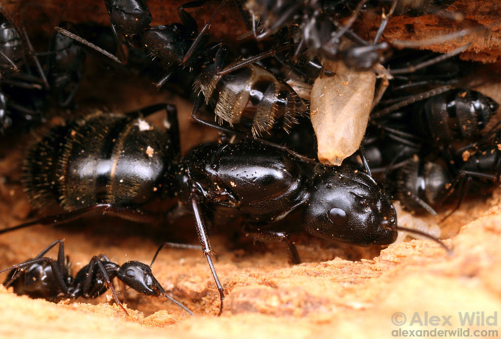 A queen carpenter ant (Camponotus pennsylvanicus) inside the nest.  Clinton Lake State Recreation Area, Illinois, USA