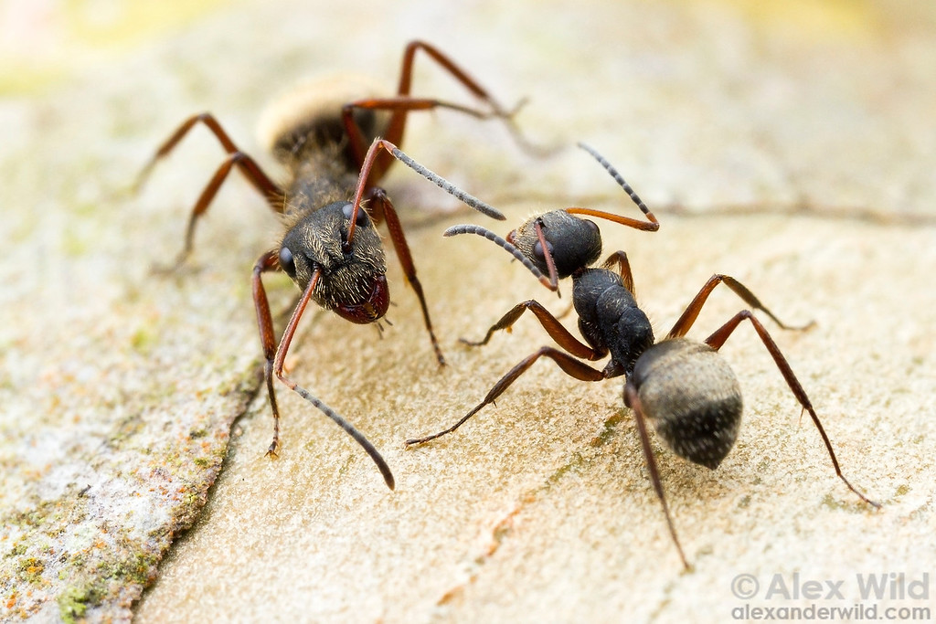 Camponotus textor is a new world weaver ant. Here, a pair of workers meet along a foraging trail.  Icononzo, Tolima, Colombia