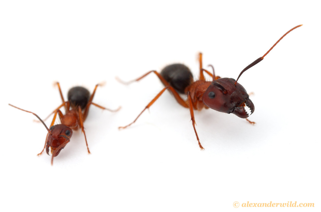 Major (right) and minor workers of the Florida Carpenter Ant Camponotus floridanus, one of the first ants slated to have its genome sequenced.  Archbold Biological Station, Florida, USA