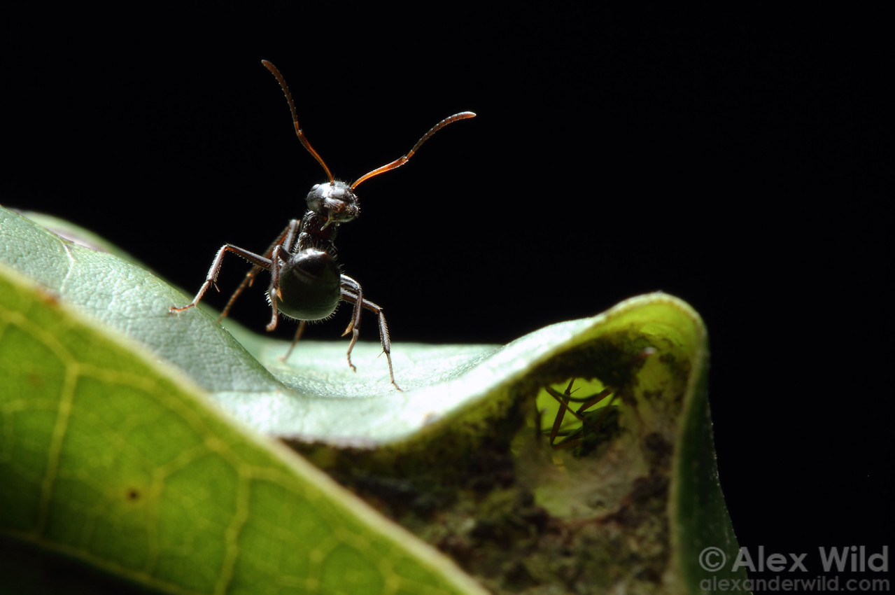 A new world weaver ant (Camponotus sp.) guards the nest entrance.  Misahuallí, Napo, Ecuador