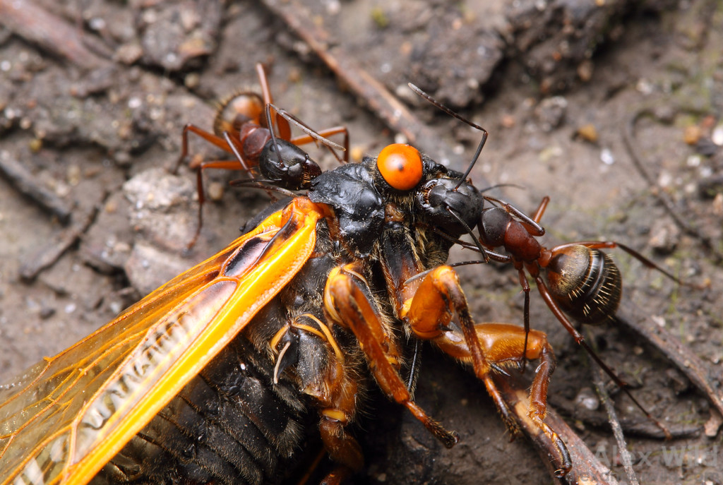 Camponotus chromaiodes carpenter ants dismember the carcass of a periodical cicada.  Allerton Park, Illinois, USA