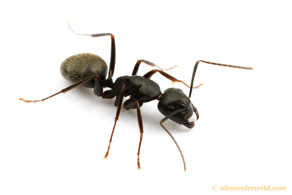 Camponotus pennsylvanicus, the eastern black carpenter ant.  South Bristol, New York, USA