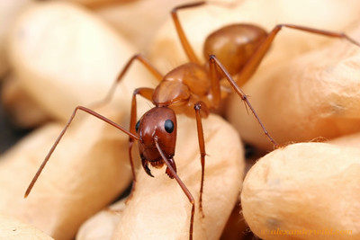Camponotus castaneus worker with cocoons in the brood nest.  Champaign, Illinois, USA