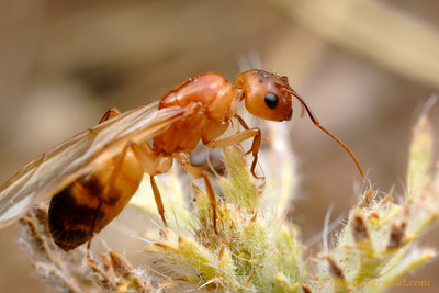 A young Camponotus festinatus queen scales the vegetation around her nest to launch herself on a nocturnal mating flight.  Tucson, Arizona, USA