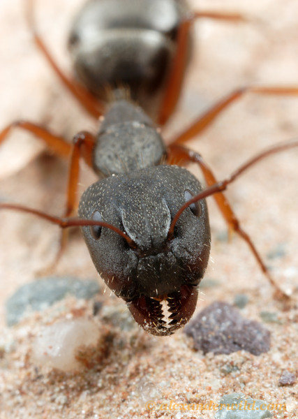 Portrait of an Andean Camponotus.  Purmamarca, Jujuy, Argentina