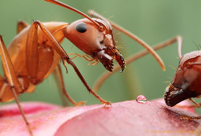 Camponotus castaneus feeding on nectar from a developing peony bud.  Urbana, Illinois, USA