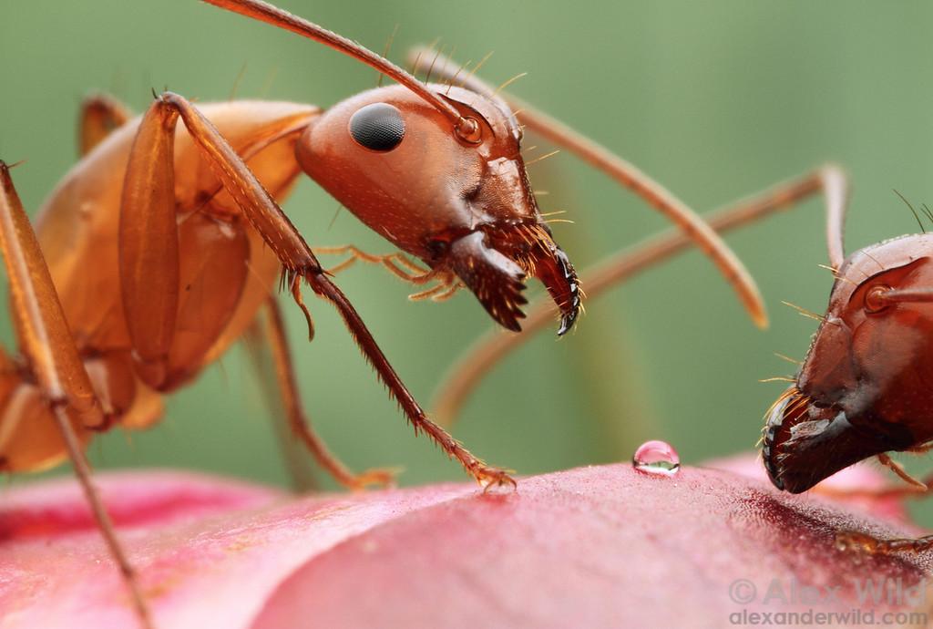 Camponotus castaneus feeding on nectar from a developing peony bud.  Urbana, Illinois, USA