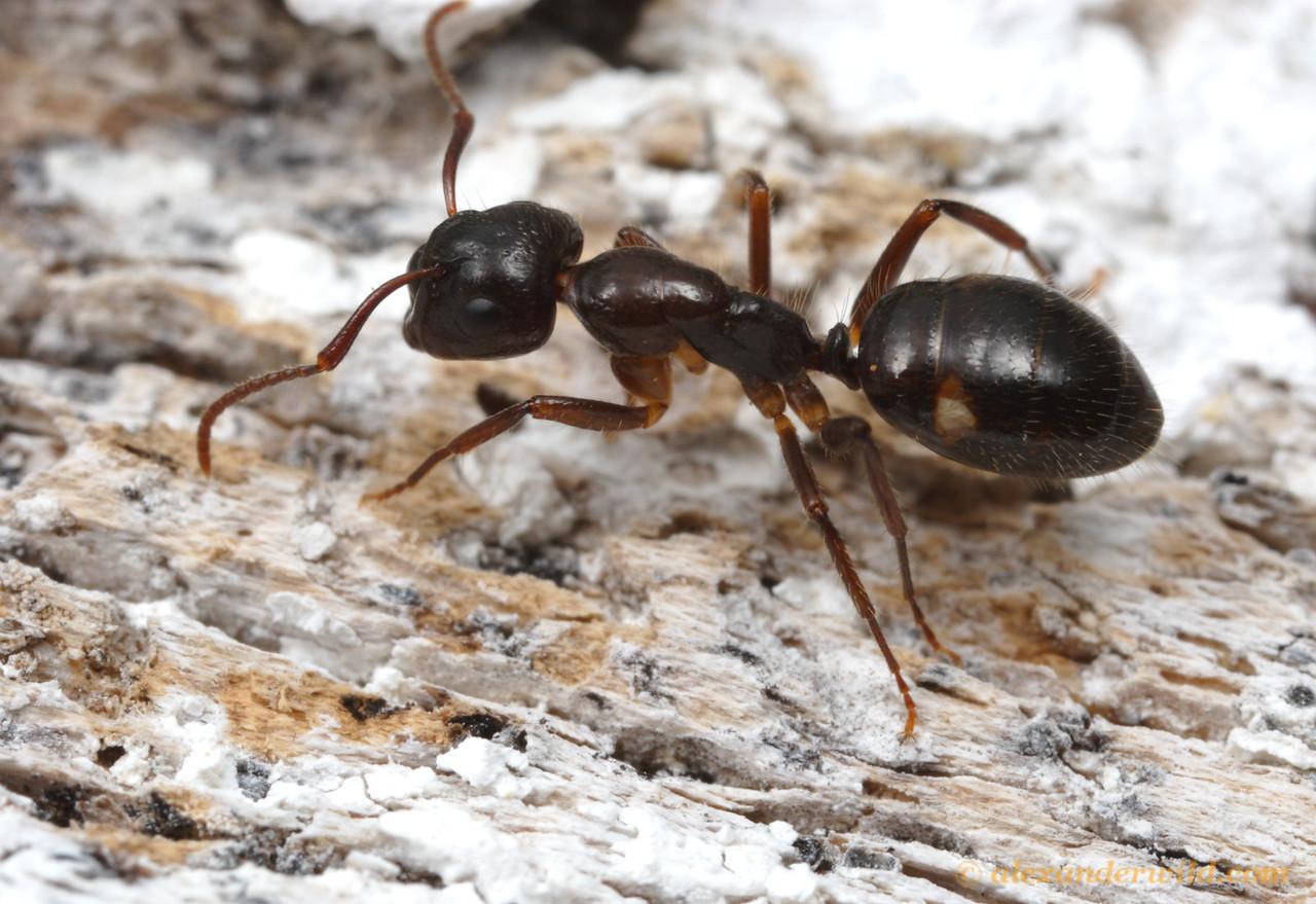 Camponotus sexguttatus