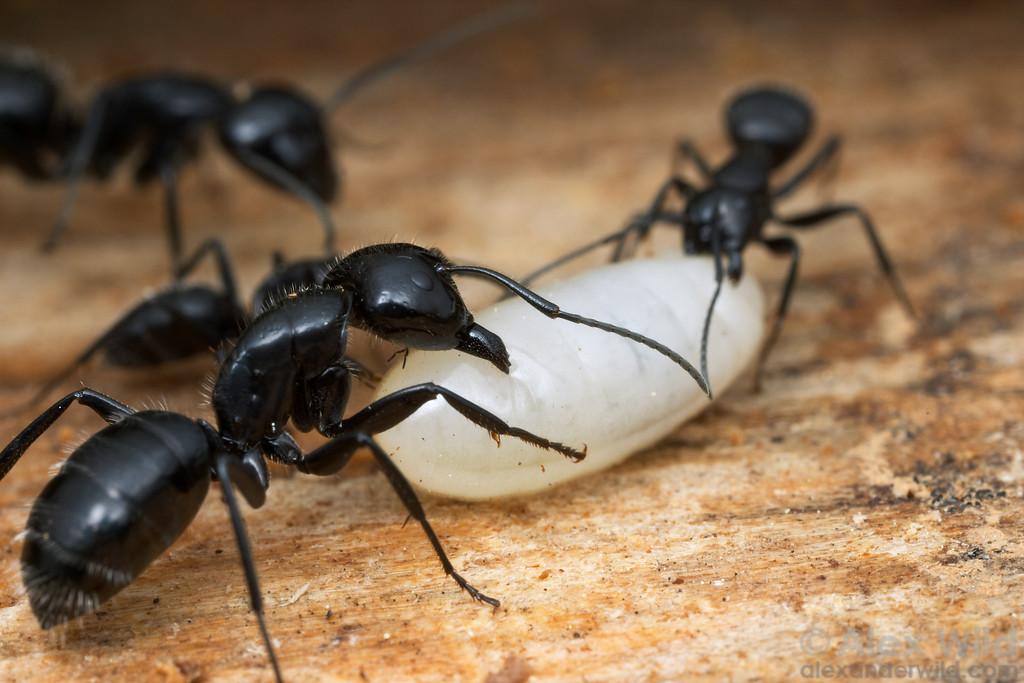 Camponotus laevigatus