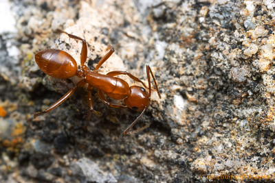 Camponotus schaefferi  Portal, Arizona, USA