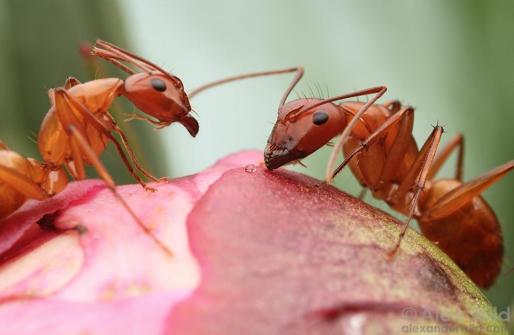 Camponotus castaneus feeding from a peony bud.  Urbana, Illinois, USA