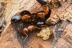 Camponotus discolor