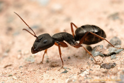 Camponotus sp. major worker.  Purmamarca, Jujuy, Argentina