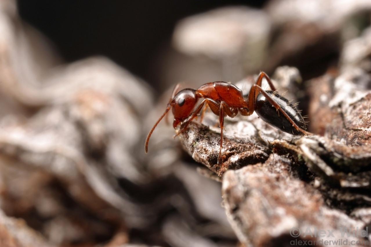 Camponotus essigi