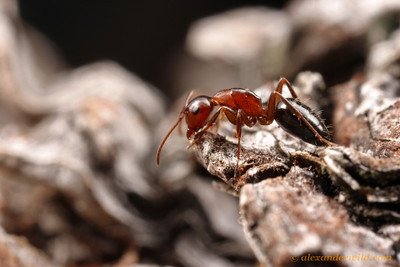 Camponotus essigi, a small carpenter ant, forages on a tree trunk in northern California.  Santa Cruz, California, USA