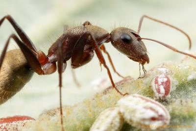 Camponotus rosariensis ant tending scale insects for honeydew  Frías, Santiago de Estero, Argentina