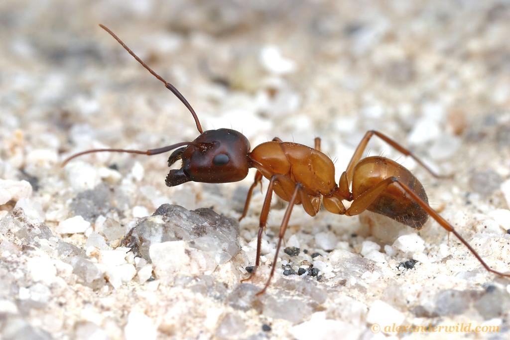 Camponotus semitestaceus  Mojave National Preserve, California, USA