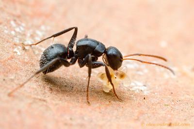 Camponotus crassus  Morretes, Paraná, Brazil