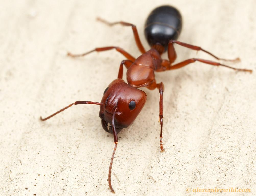 Camponotus sayi