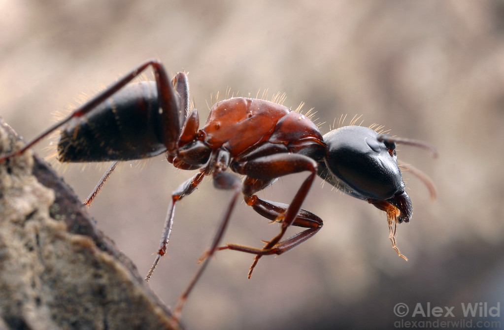 Camponotus vicinus  Blodgett Forest, El Dorado Co., California, USA