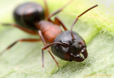 Camponotus nearcticus major worker  Urbana, Illinois, USA