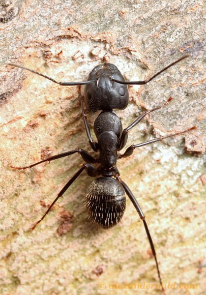 Camponotus pennsylvanicus, the eastern black carpenter ant. This individual is a major worker, indicated by the disproportionately muscular head.  Urbana, Illinois, USA