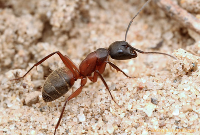 Camponotus chromaiodes. This species is similar to the common black carpenter ant C. pennsylvanicus but can be recognized by the red coloration around the waist.  Clinton Lake State Recreation Area, Illinois, USA