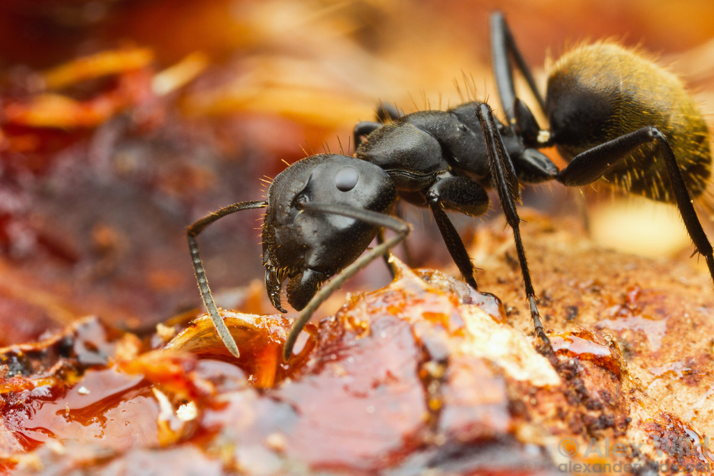 A Camponotus chrysurus worker gathers sap from a tree wound.  Kibale forest, Uganda