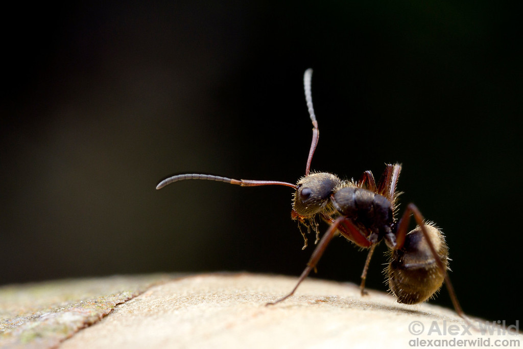 A Camponotus textor forager pauses to groom herself.  Icononzo, Tolima, Colombia