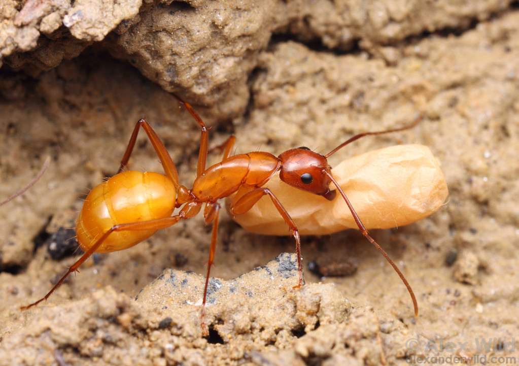 "Camponotus castaneus worker carrying a cocoon through an underground tunnel.  Although members of the genus Camponotus are commonly referred to as ""carpenter ants"", this species nests not in wood but in soil.  Vermillion River Observatory, Illinois, USA"