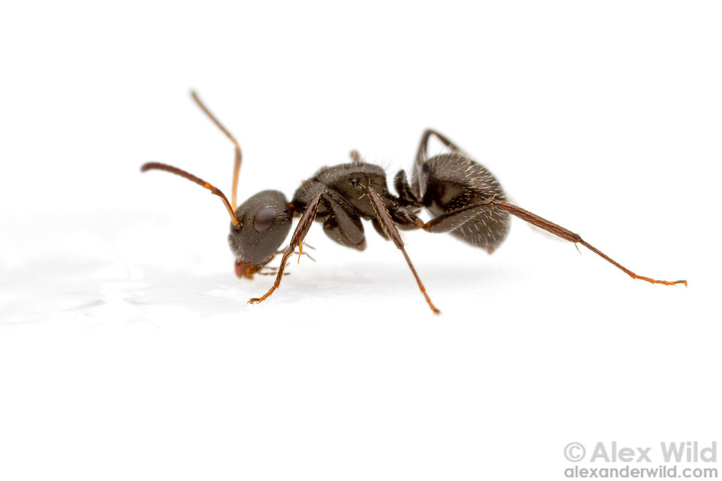 A Camponotus crassus worker drinks from a sugar bait.   Morretes, Paraná, Brazil