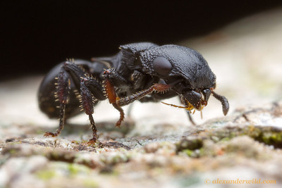 An armored tree ant (Cataulacus huberi) pauses to groom her legs and antennae. Ants are extremely clean insects.  Kibale forest, Uganda