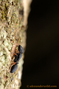 Cataulacus brevisetosus worker foraging on a tree trunk.  St. Lucia, KZN, South Africa