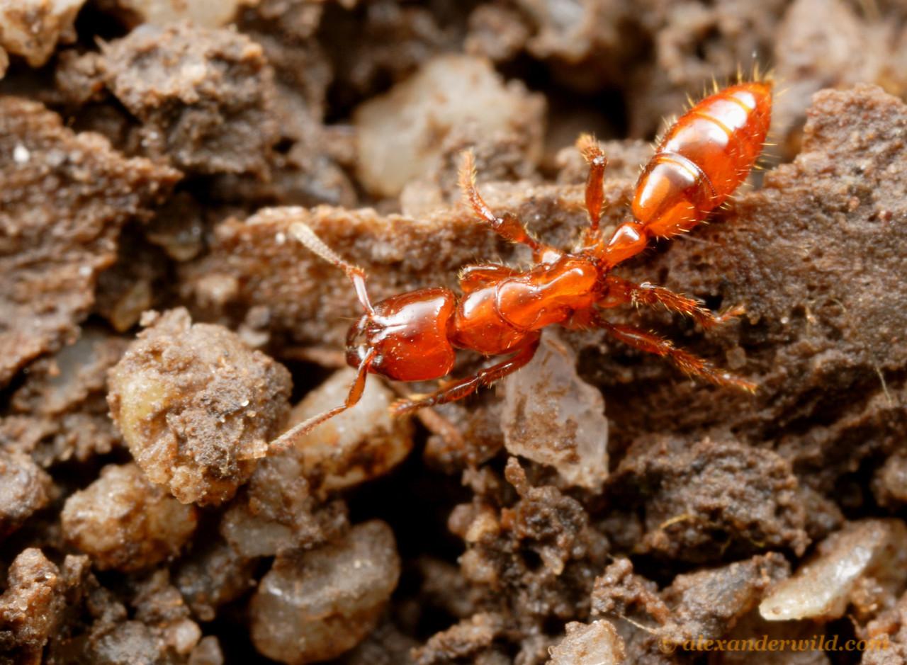 Centromyrmex gigas  Aragua, Venezuela