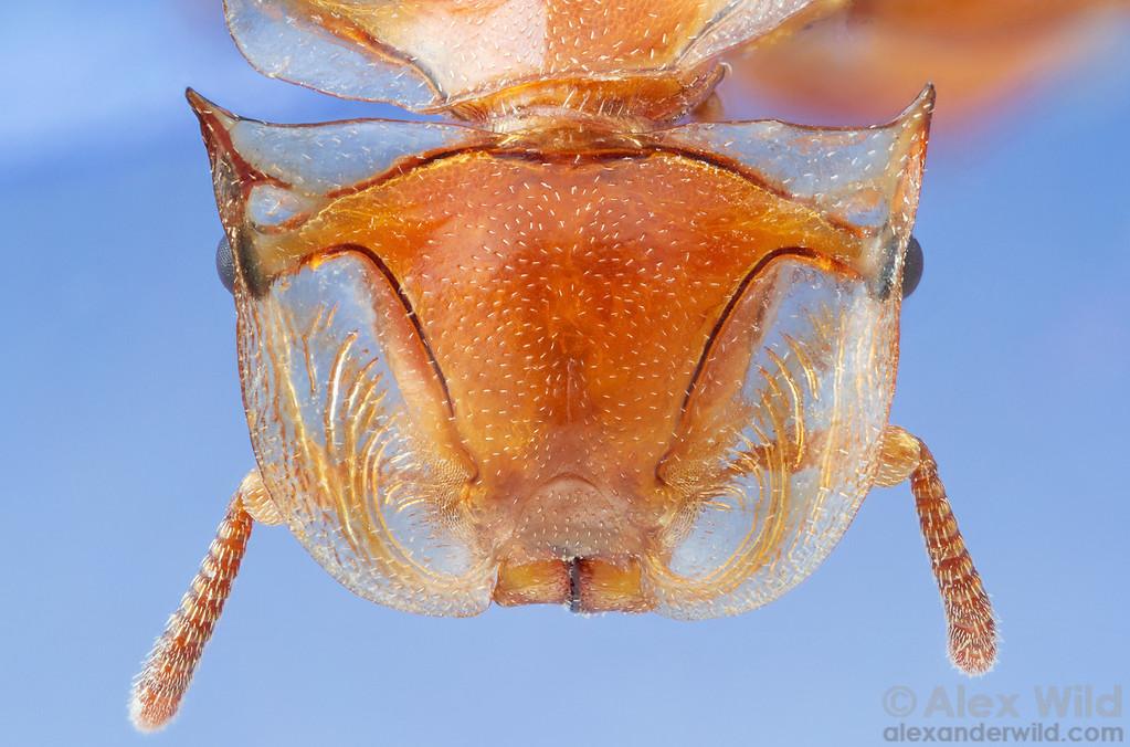 Cephalotes clypeatus