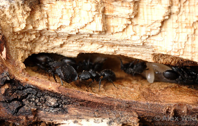 A colony of Cephalotes rohweri inhabits the abandoned burrow of a wood-boring beetle in a Palo Verde tree.  Tucson, Arizona, USA