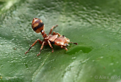 A minor worker of the strikingly-colored Cephalotes umbraculatus drinks from a water droplet.  Archidona, Napo, Ecuador