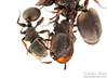 Cephalotes texanus