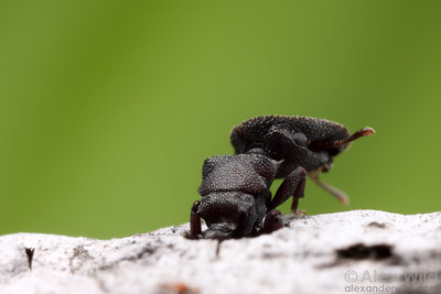 Cephalotes varians turtle ant soldier emerging from the nest.  Florida Keys, USA