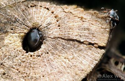 Cephalotes spinosus