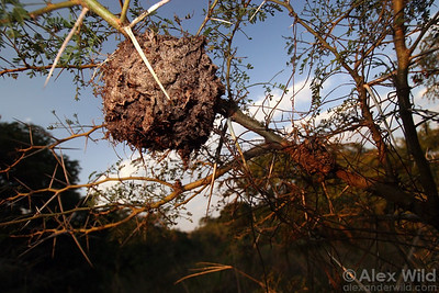 An arboreal carton nest of Crematogaster castanea tricolor.  This nest is about the size of a softball.    St. Lucia, KZN, South Africa