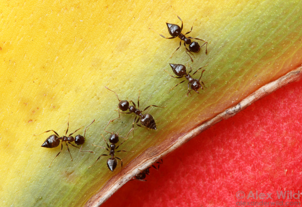 Crematogaster acrobat ants feeding from the nectaries of a Heliconia flower.