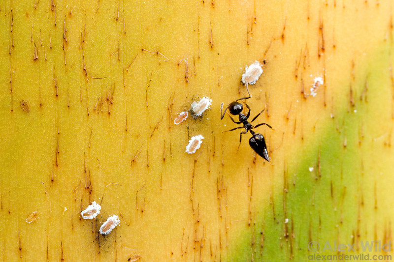 Crematogaster sp. tending to whitefly nymphs under a bamboo sheath.