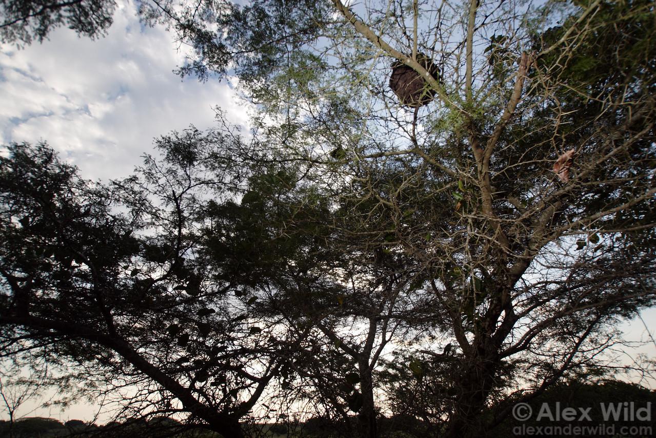 Crematogaster castanea tricolor
